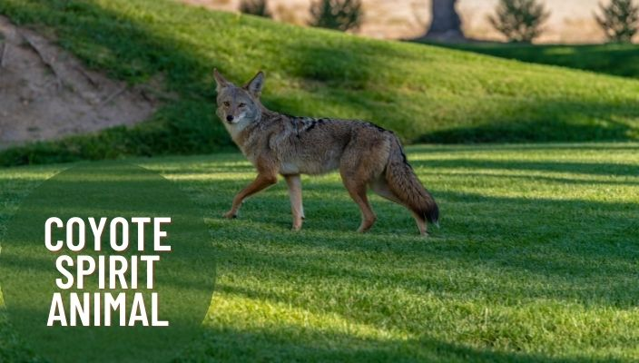 Coyote Spirit Animal Meaning and Symbolism