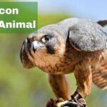 Falcon Spirit Animal Meaning