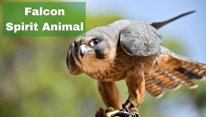 Falcon Spirit Animal Meaning