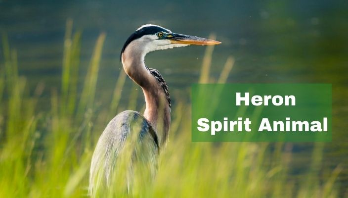 Heron Spirit Animal Meaning