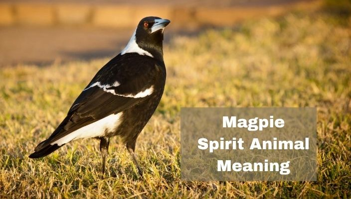 Magpie Spirit Animal Meaning