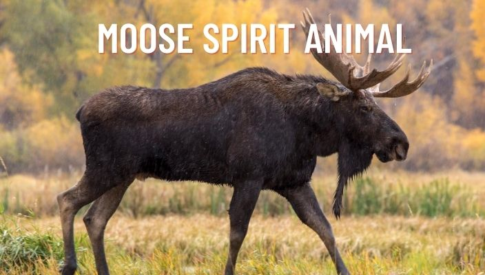 Moose Spirit Animal Meaning and Symbolism