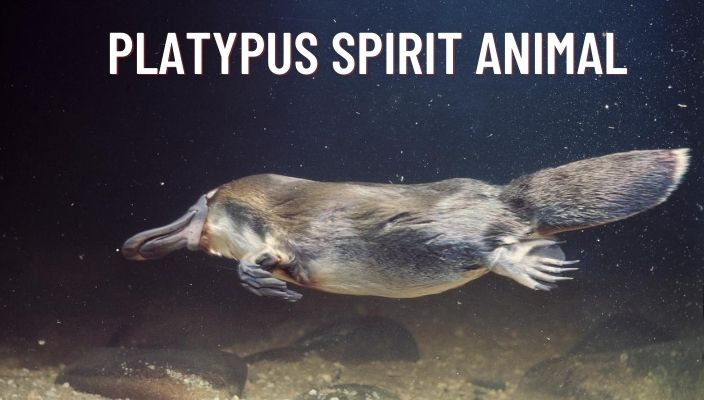 Platypus Spirit Animal Meaning and Symbolism