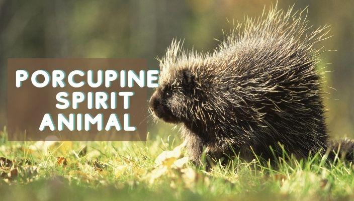 Porcupine Spirit Animal Meaning and Symbolism