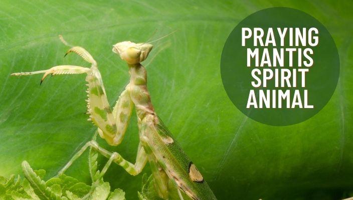 Praying mantis Spirit Animal Meaning and Symbolism