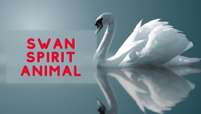 Swan Spirit Animal Meaning and Symbolism