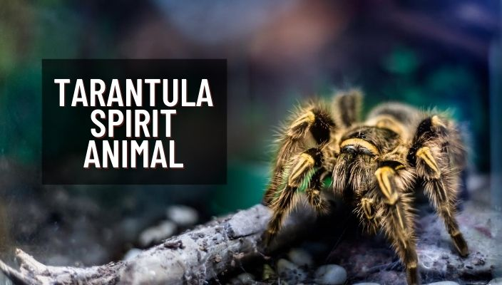 Tarantula Spirit Animal Meaning and Symbolism
