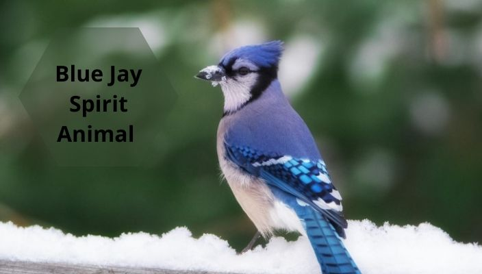 Blue Jay Spirit Animal Meaning and Symbolism