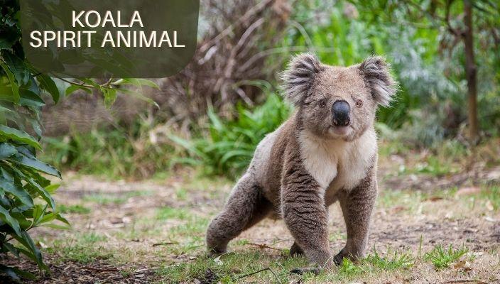 Koala Spirit Animal Meaning and Symbolism