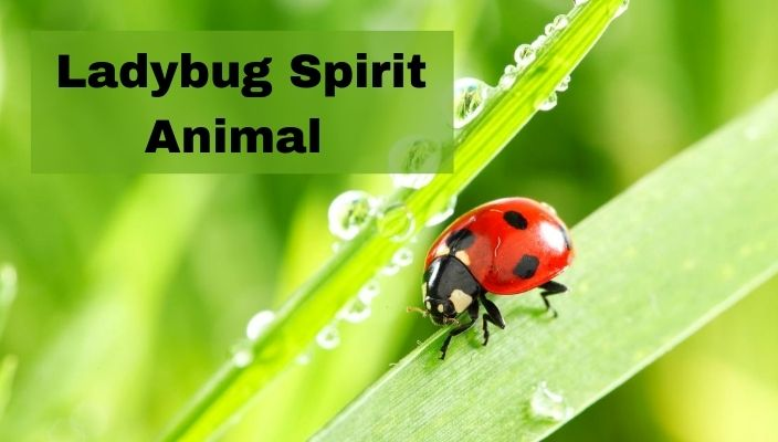 Ladybug Spirit Animal Meaning and Symbolism