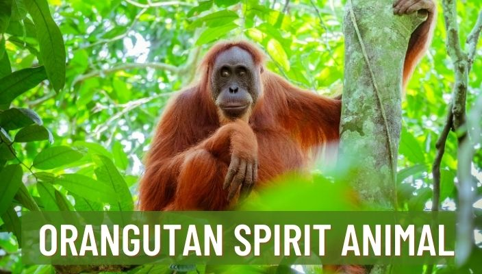 Orangutan Spirit Animal Meaning and Symbolism
