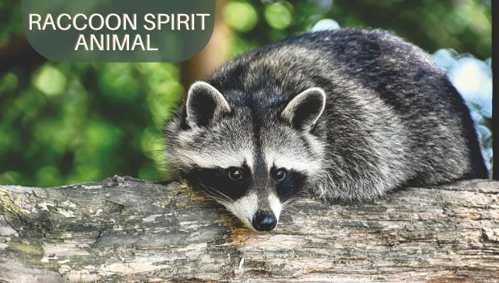 Raccoon Spirit Animal Meaning and Symbolism